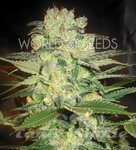 WORLD OF SEEDS - Afghan Kush X White Widow
