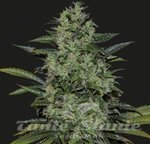 KALASHNIKOV SEEDS - POWER RUSSIAN