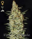 GREEN HOUSE SEEDS - Neville's Haze