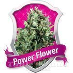 ROYAL QUEEN SEEDS - Power Flower®