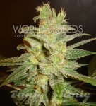 WORLD OF SEEDS - Northern Light X Big Bud Auto