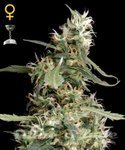 GREEN HOUSE SEEDS - Arjan's Ultra Haze #1