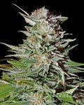 GREEN HOUSE SEEDS - Super Lemon Haze Autoflowering