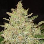 Original Sensible Seeds - Blueberry Ghost OG
