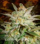 WORLD OF SEEDS - Star 47