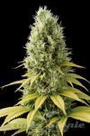 SEEDSMAN - CBD Shark Shock