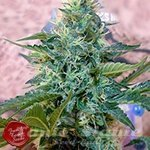 FRENCH TOUCH SEEDS - Sativa des Rois