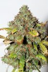 SEEDSMAN - Power Africa