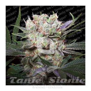 Paradise Seeds - Californian Gold