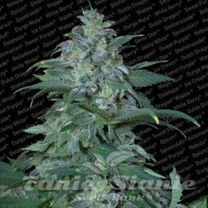 PARADISE SEEDS - Magic Bud