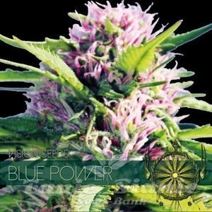 Vision Seeds -Blue Power