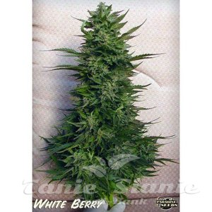 PARADISE SEEDS - White Berry